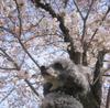 Sakura_navy_1